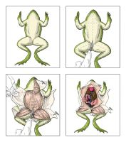 Frog Dissection by elizabethnixon