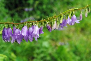 Purple bells by LucieG-Stock