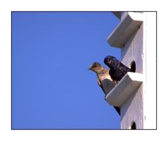 Purple Martins by dove-51