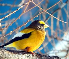 EVENING GROSBEAK WINTER MORNING WARMING UP IN THE by sharkbaits