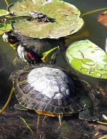 Turtle, turtle by JohnnyNiffer
