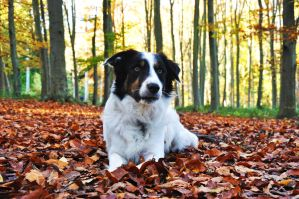 Archie Border Collie Autumn Year 2 by LW-M-E-D-I-A