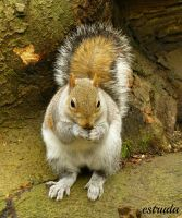 Squirrel In The Woods by Estruda