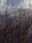 Maine frozen branches by LaurieLefebvre