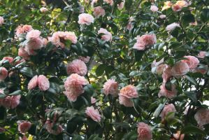 view to camellias 53 by ingeline-art