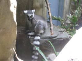Ring-Tailed Lemur by Fireborn46