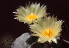 Astrophytum II by PassionAndTheCamera