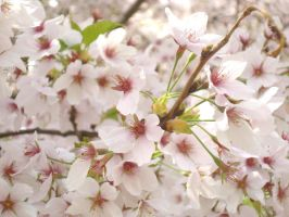 Cherry blossoms by princess-soffel