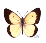 Day 242: Colias Palaeno by Kitty-xx