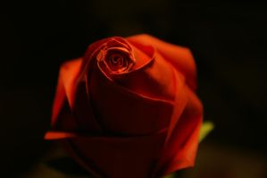 Red rose by FC-1032