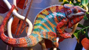 Fruit Loops the Ambanja Panther Chameleon by MorRokko