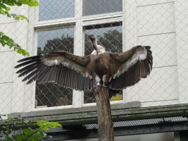 Griffon Vulture by Horselover60-Stock