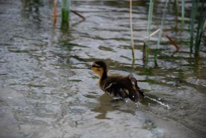 Duckling by touchthetruth