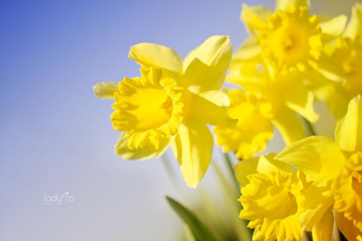 Daffodils by Lady-Ro