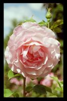 pink rose by RighteousPigPile