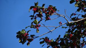 Red Holly Berries by Ox3ArtStock