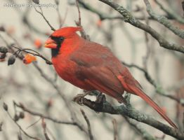 Northern Cardinal - Male  Dec 2,11 by Martzart