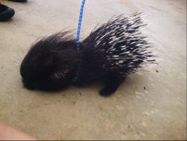 Baby Porcupine by DreamsCanLive
