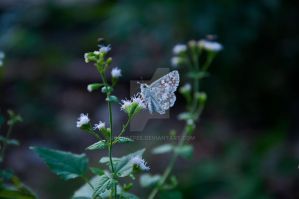 Tropical Checkered-Skipper by jdchaffee