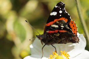 Red Admiral by snomanda