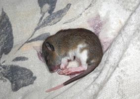 Asleep baby Rat - Stock image2 by NickiStock