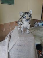 Snow Leopard Cub by thewishingshed