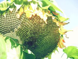 sunflower by cwiny
