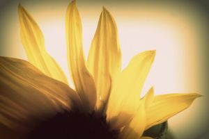 sunflower by Jules-89