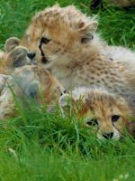 cheetah babies by cheshirecat84