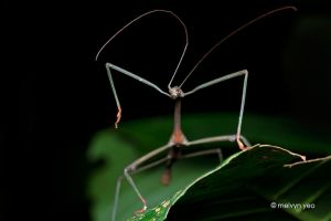 Dancing Stick insect by melvynyeo