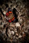 Red Admiral by Mikelyjohnsono