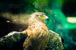 Golden eagle by thangquynho91