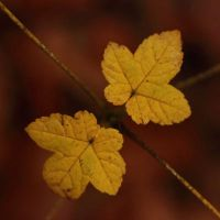 maple...by terenceH by SixbySix