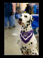 Deaf Dalmatian by acojon