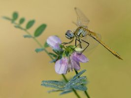 Dragonfly and a flower by dralik