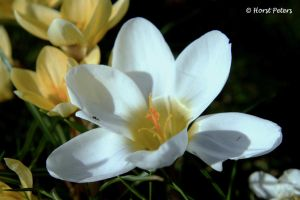 Weisser Krokus / White Crocus by bluesgrass