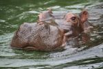 Hippos cologne 23 by ingeline-art