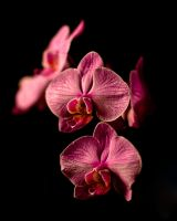 Orchid Print 1 by ST77