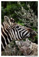 Zebra's Lunch by TVD-Photography