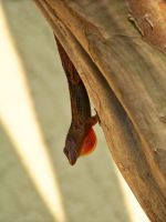 Brown Anole with Dewlap by jerrinator