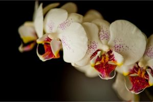 Aliesha's Orchid by AndersonPhotography