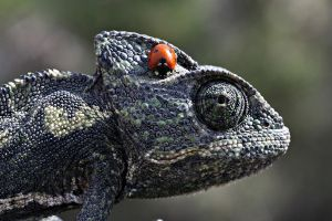 lady and chameleon by lisans