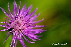 Thistle by Akxiv