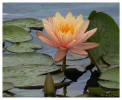 Yellow Water Lily by texasghost