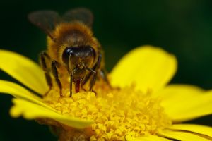 Honeybee on Yellow V by dalantech