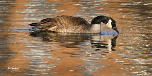 Sunset canada goose reflection by DGAnder