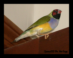 Lady Gouldian Finch by sparx222