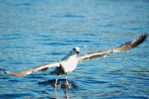 Gull 2009 3 by grugster