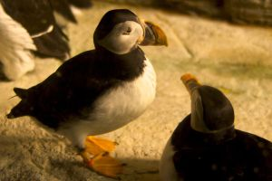 Puffins by mairlin