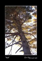 Old Pine by DementdPrncess